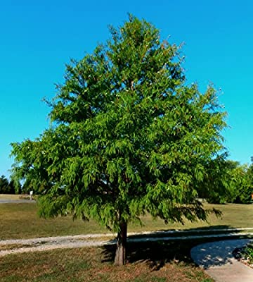 "Bald Cypress Tree - 22"" to 26"" Tall - Healthy Rooted - 4"" Potted - Super Roots - Taxodium distichum 'Bald Cypress' - 3 Plants by Growers Solution"