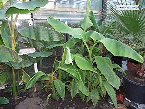 1 STARTER PLANT of Musa Margarita Banana tree