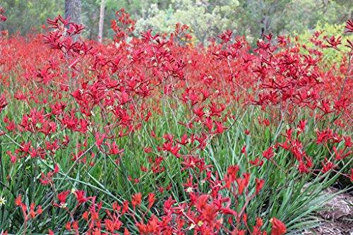 Big Red Kangaroo Paw Aka Anigozanthos 'Big Red' Live Plant Perennial Plant Fit 05 Gallon (Perennials For Pots)