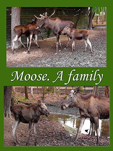 Moose. A family (Elk Portrait)