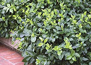 1 Starter Plant of Purple Wintercreeper Euonymus