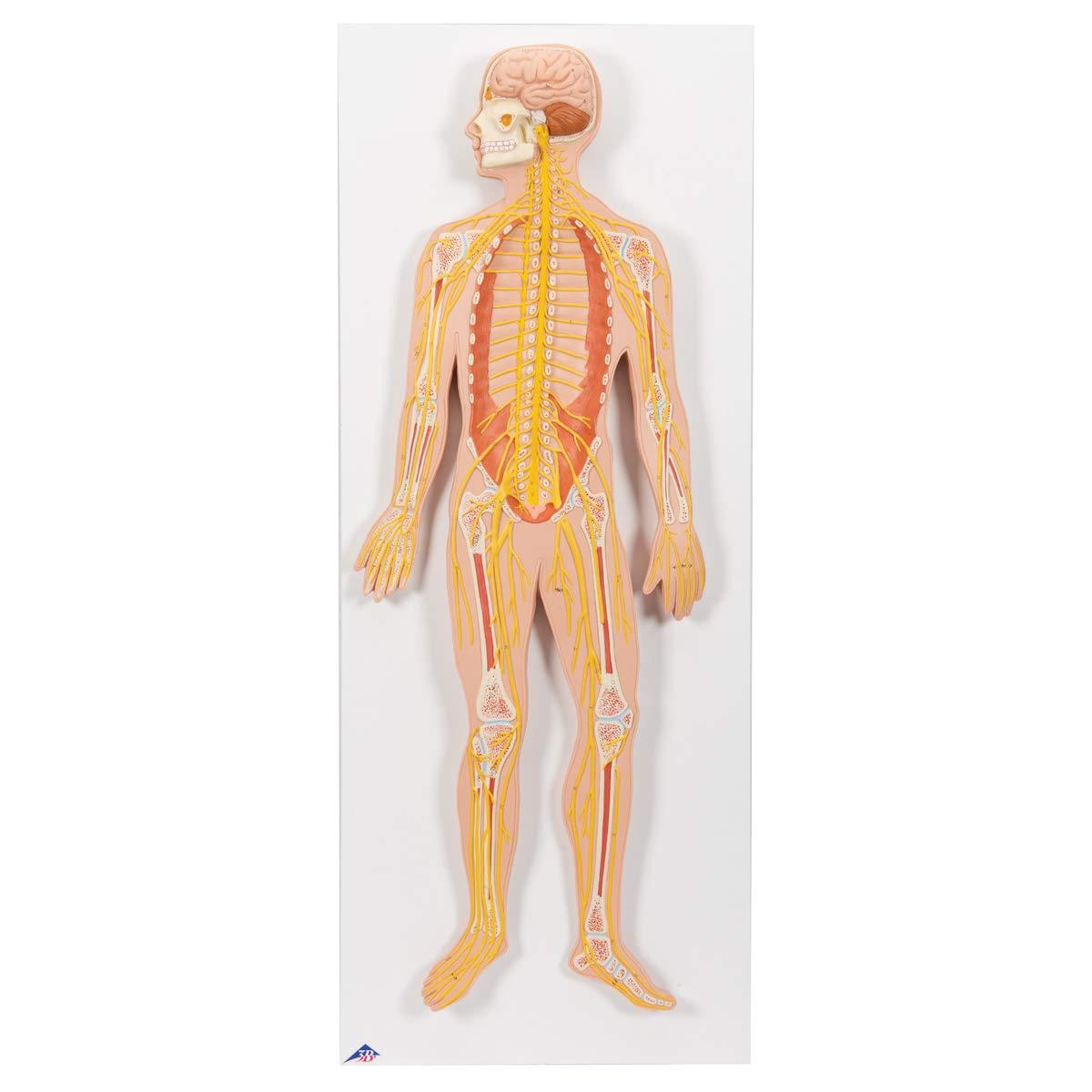 3b Scientific C30 Nervous System Model 12 Life Size 315 X 130