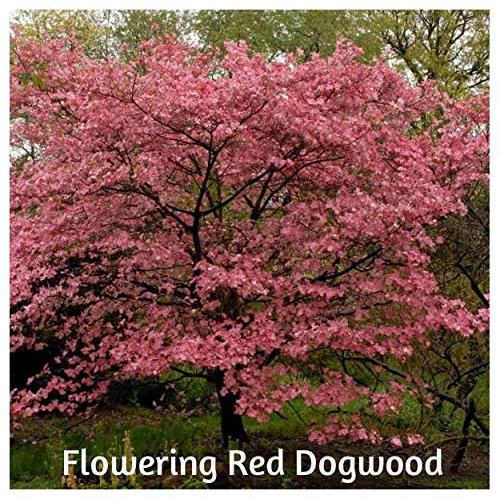 Flowering Red Trees - Flowering Red Dogwood Tree Seeds by BluSeeds