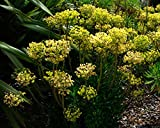 4 Bare Root of Euphorbia Characias ssp. Wulfenii 'Lambrook Gold'