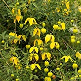 GOLDEN CLEMATIS TANGUTICA, Radar love seeds
