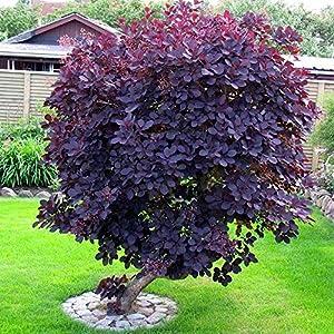 1 cotinus coggygria 39 royal purple 39 smoke bush deciduous shrub hardy plant in pot. Black Bedroom Furniture Sets. Home Design Ideas