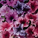 Petunia - Daddy Series Flower Garden Seed - 1000 Pelleted Seeds - Color Mix Blooms - Single Grandiflora Petunias - Annual Flowers