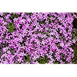 Perennial: RAINBOW ROCK CRESS 50+ Seeds - Tiny Lavender,Lilac Blooms Groundcover, Beauty, Easy To Grow - High Germination, To Grow - High Germination, Fresh Se0 Seeds *Butterfly Garden* Rudbeckia purpurea, Easy To Grow - High Germination, Fresh Seed