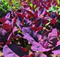Purple Orach Seed(Purple Passion Spinach) by Stonysoil Seed Company