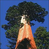 Tropica - sequoia di montagna (Sequoiadendron gigantea) - 50 semi