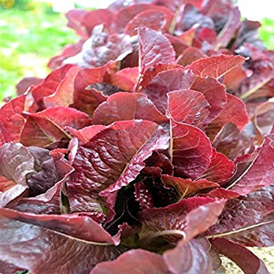 Cimmaron Romaine Lettuce Garden Seeds - Non-GMO, Heirloom Vegetable Gardening Seeds - Salad Greens & Microgreens