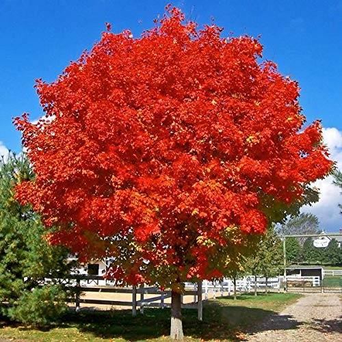 October Glory Red Maple Tree - 6-7 Feet Tall - Light Branching by New Life Nursery & Garden (Image #3)