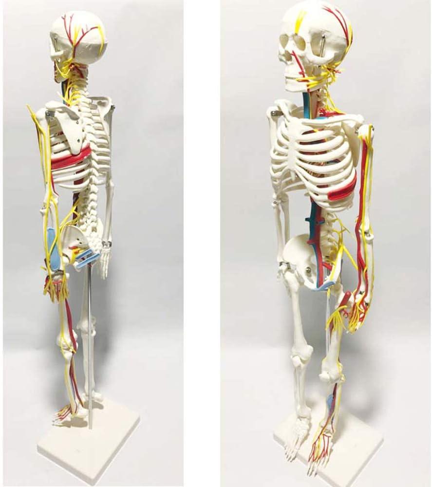 ZJIAN Esqueleto Humano Educativo con Músculos y con Partes Móviles Incluye Póster Gráfico Funda Soporte con Ruedas Modelo Médico Humano de Real PVC 45/85cm
