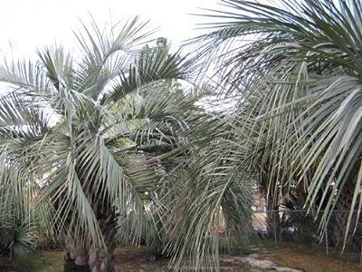 Pindo palm seeds (Butia capitata)-25 fresh seeds