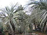 Pindo palm seeds (Butia capitata)-25 fresh seeds