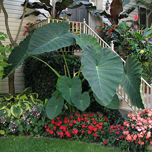 Live Bulbs Colocasia gigantea Thailand Giant Thai Giant Elephant Ear Huge Leaf (3 Bulbs) by MW142