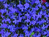 "(ALO)~""CRYSTAL PALACE"" LOBELIA~Seed!!~~~~Great Borders!"
