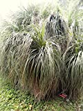 5 Seeds of Nolina Bigelovii Bear Grass