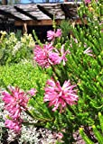 Erica Verticillata ~ Pink Marsh Heath ~ Amazing Tropical Shrub ~ 5 Tiny Rare Seeds ~
