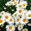 5700 Shasta Daisy Seeds