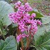 Live Winterglow Bergenia aka Bergenia c. 'Winter Glow' Plant Perennial Plant Fit 01 Gallon Pot