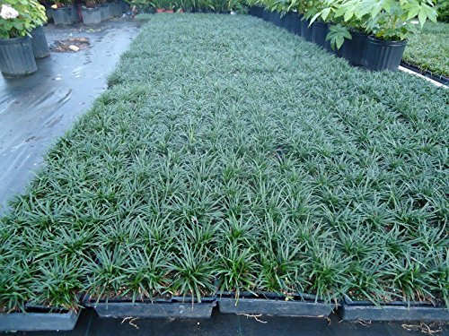 (New and Healthy DWARF MONDO GRASS 330 PIPS , EVERGREEN, GROUND COVER,ROCK GARDEN, BORDER.)
