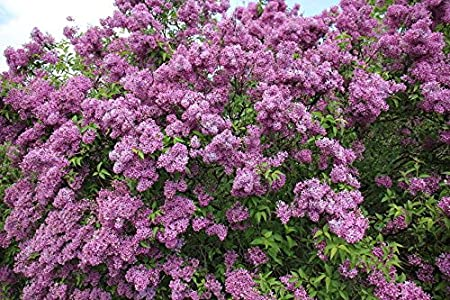 Amazon Com 8 Purple Old Fashion Lilac Bushes Potted Plant The