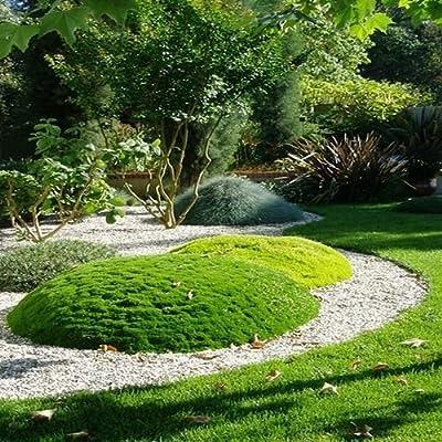 Irish Moss Ground Cover Seeds (Sagina Subulata) 200+Seeds (200+) : Garden & Outdoor