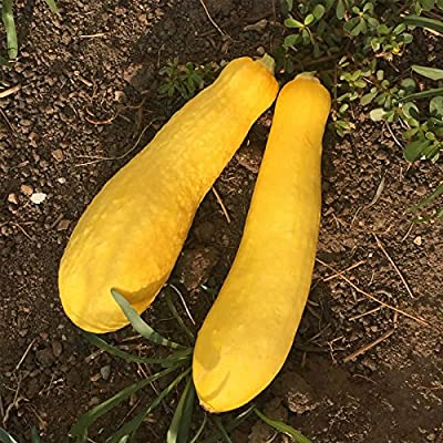 Early Prolific Straightneck Summer Squash Garden Seeds - Heirloom, Non-GMO - Vegetable Gardening Seed - Straight Neck Yellow Squash