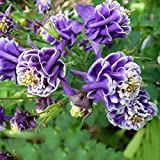 Potato001 50Pcs Aquilegia Seeds Blue Columbine Double Flower Plant Romantic Garden Decor