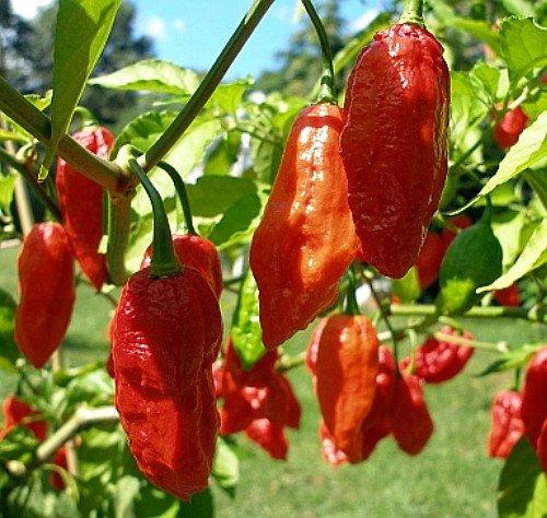 Bhut Jolokia Naga Morich Seeds Pepper 20 9GreenBoxs Ghost Pepper
