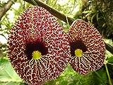 Aristolochia elegans | Elegant Dutchmans Pipe | Calico Flower | 20_Seeds
