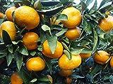"Owari Satsuma Mandarin Orange Tree Real Live Plants Citrus 3-6"""