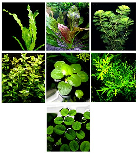 Lilies 5 Stems (20 Live Aquarium Plants / 7 Different Kinds - Amazon Swords (2 kinds), Egeria, Cryptocoryne and much more! Great plant sampler for 5-6 gal. mini- tanks!)