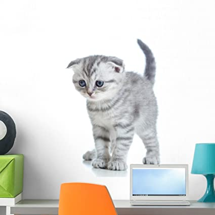 Amazon com: Wallmonkeys Scottish Fold Kitten Wall Decal Peel and
