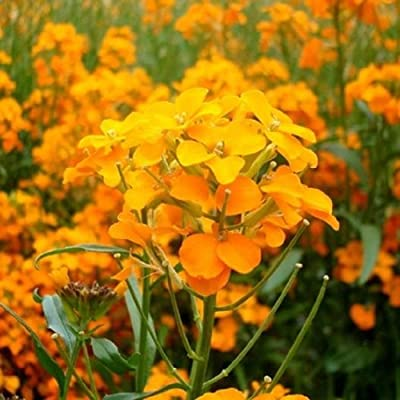 David's Garden Seeds Flower WallFlower Siberian SL0283 (Multi) 500 Non-GMO, Heirloom Seeds : Garden & Outdoor