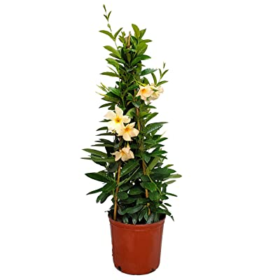 "Live Mandevilla Plant - Apricot Mandevilla Trellis - 3 Gallon Pot - Tropical Plants of Florida - Overall Height 36"" : Garden & Outdoor"