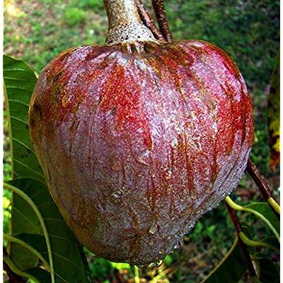 Fruit Tree Red Custard Apple Tropical 1 Pcs MG009 : Garden & Outdoor