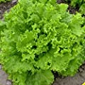Everwilde Farms - Grand Rapids Lettuce Seeds - Gold Vault