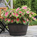 Caladium Fancy Rosebud,(5 Seeds Bulbs) Easy to Grow, Inside or Out, Great in Containers