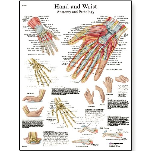 3B Scientific VR1171L Glossy Laminated Paper Hand and Wrist Anatomy ...