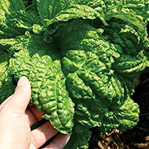 Lettuce Leaf Basil Seeds (Ocimum basilicum) 30+ Rare Heirloom Culinary Herb Seeds in FROZEN SEED CAPSULES for the Gardener & Rare Seeds Collector - Plant Seeds Now or Save Seeds for Years