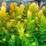 3 bunch Red Stem Hornwort Bunch / Ceratophyllum demersum Rotstengelig -Live Aquarium Plant