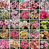 Higarden,2016 New Arrival 200 SEEDS Plumeria Rubra Multicolored Egg Flower seeds