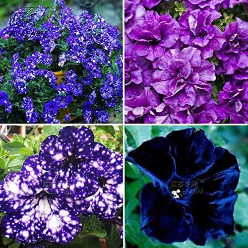 Plentree Petunia Garden Bonsai Moon Night Sky Double Purple Flowers Purple Sky Black ()