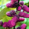 Colorful BlackBerry Tree Raspberry Seed Stratified Fruit Seed Mulberry Black Berry Bonsai Non-GMO Organic Plant 500 Pcs/Bag 17
