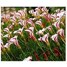 Oxalis versicolor flowers seeds 300PCS World's Rare Flowers For Garden home planting O.versicolor Flowers Semillas