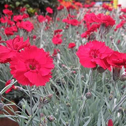 Star Dianthus (1 Starter Plant Dianthus Fire Star in 3.5