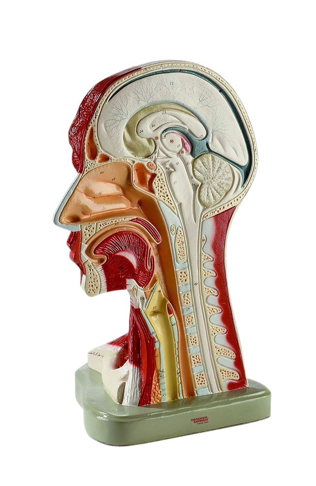 Right Half Of Head And Neck Musculature Anatomy Model Human