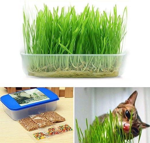 VISTARIC 1 Ajuste de la venta caliente cristalina Digestivas verde hierba gatera Hierba sana Treat Planta de hierba gatera doble hierba de semilla gatito gato bonsai: Amazon.es: Jardín